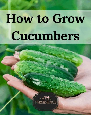 how to grow cucumbers, growing cucumbers