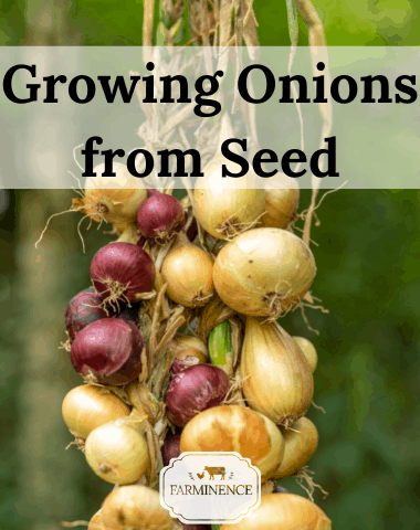 growing onions from seeds, how to grow onions from seeds