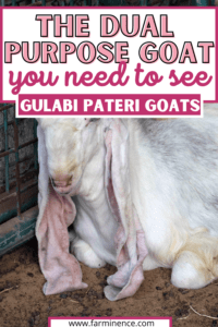 gulabi pateri dual purpose goats