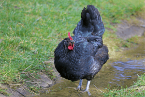 keeping chickens cool in summer, keeping chickens cool when it's hot