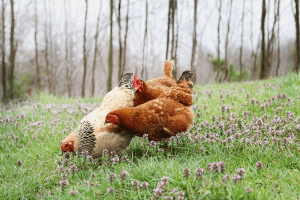 do chickens eat ticks, do chickens eat insects