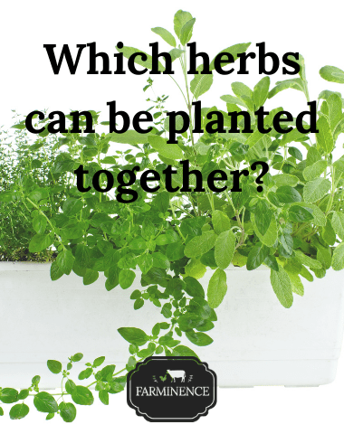 herbs to grow together in a pot, which herbs will grow in one pot