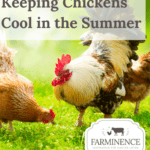 keeping chickens cool in the summer, keeping chickens cool in heat, hot weather