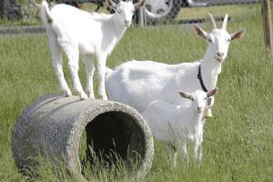 raising kiko goats