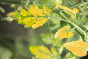 why is my tomato plant turning yellow, yellow tomato leaves