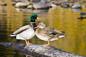 mallard duck, duck breeds, breeds of duck