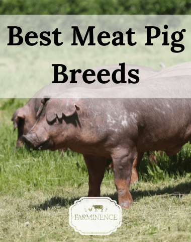 meat pig breeds, pigs to raise for meat