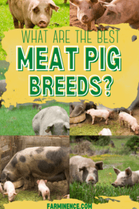 best meat pigs breeds, best pigs to raise for meat