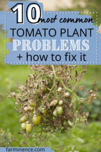 10 most common tomato plant problems, what's wrong with my tomato plant