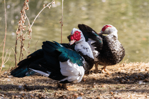 muscovy ducks, duck breeds, breeds of duck