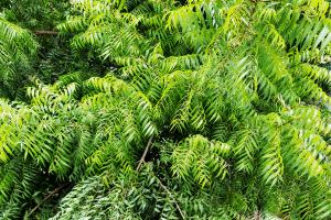 neem tree, neem oil for garden