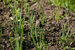 growing onions from seed, onion seedlings in the garden