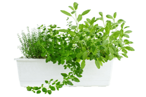 herbs that grow well together in containers