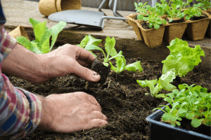 growing lettuce in containers, planting lettuce