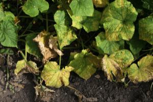 growing cucumbers, cucumber plant diseases powdery mildew