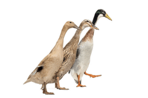 runner ducks, duck breeds, breeds of duck