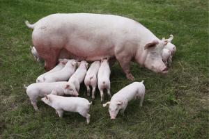 raising piglets