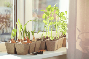 how to start seeds indoors, starting seeds in sunny window