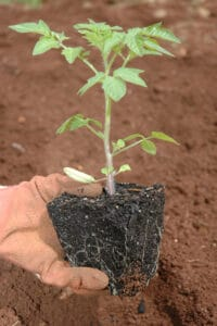 how to grow cherry tomatoes in a pot