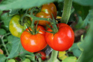 how to ripen green tomatoes, how to turn green tomatoes red indoors
