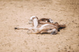 selenium deficiency in goats, white muscle disease goat kids, baby goat