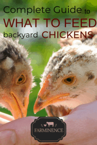 what to feed chickens, what do chickens eat