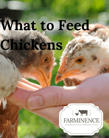 what to feed backyard chickens, feeding chickens