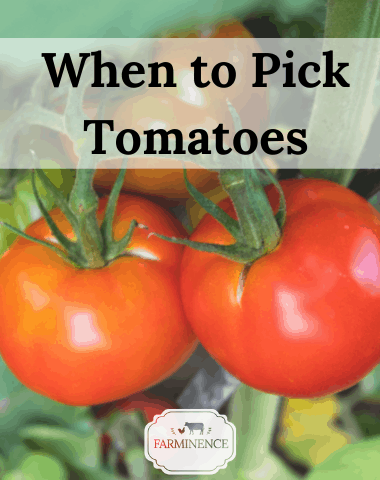 harvetsing tomatoes, when to pick tomatoes from the garden