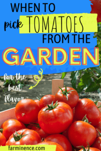 when to pick tomatoes from the garden, growing tomatoes, harvesting tomatoes