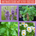 Companion planting herbs: which herbs will grow in one pot. Meditteranean herbs and moisture loving herbs don't have the same needs, so can they be planted in one container? Which herbs grow well with chives? Can you grow basil and parsley together? Can rosemary and lavender grow together? Which herbs cannot be planted together? How close together can you plant herbs?