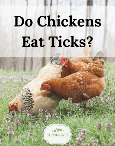 do chickens eat ticks, will chickens eat bugs out of the yard