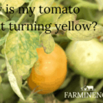 why are my tomato plants turning yellow, yellow tomato leaves